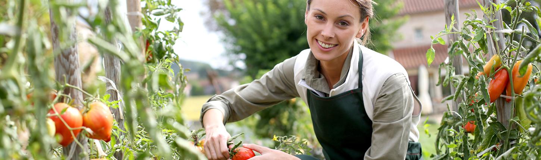 Tomaten richtig pflanzen und pflegen